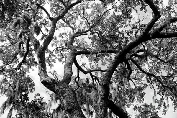 Photograph - Tree Duel In Savannah by John Rizzuto