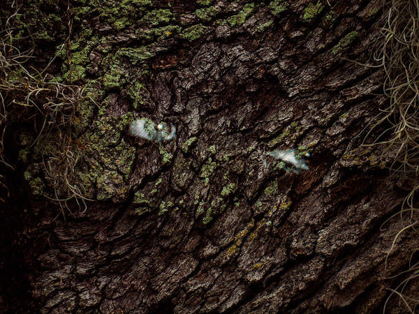 Photograph - Tree Eyes by Randy Sylvia