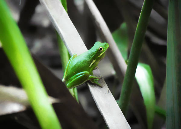 Photograph - Tree Frog by Nathan Little