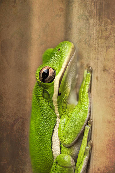 Photograph - Tree Frog  by Kay Brewer