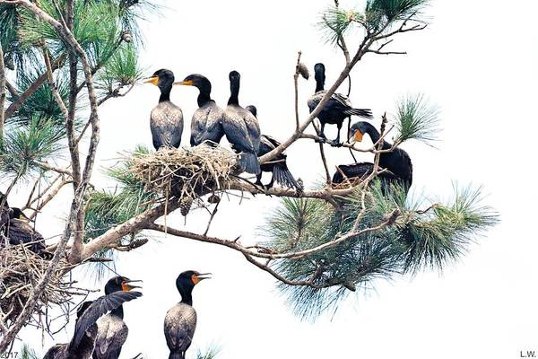 Photograph - Tree Full Of Cormorants by Lisa Wooten