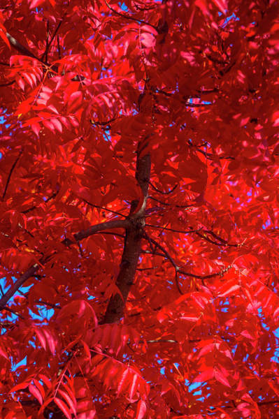 Wall Art - Photograph - Tree Full Of Red Leaves by Garry Gay