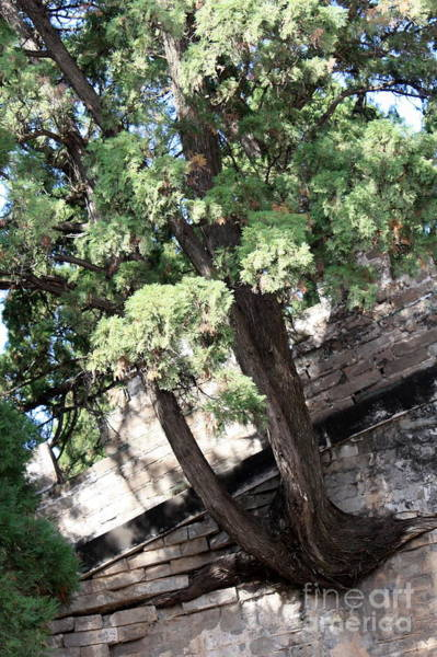 Photograph - Tree Growing Through Wall by Carol Groenen