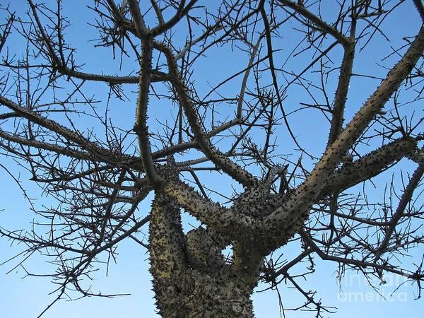 Photograph - Silk Floss Tree In Torremolinos by Chani Demuijlder