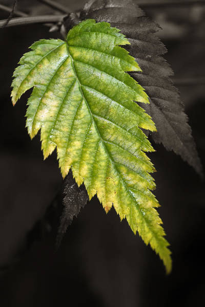 Tree Leaf Study  Art Print