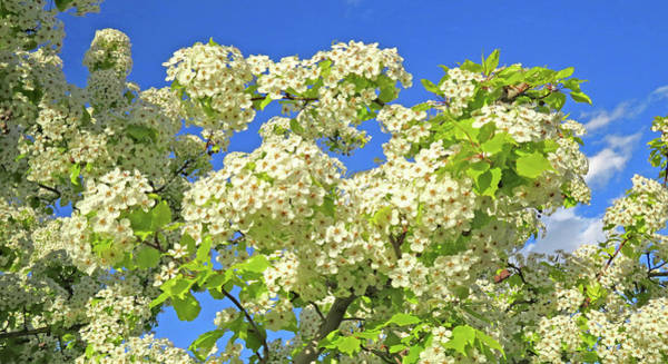Photograph - Tree  Of  White  Flowers by Carl Deaville