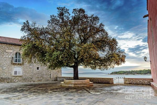 Photograph - Tree On The Adriatic, Rab Island, Croatia by Global Light Photography - Nicole Leffer