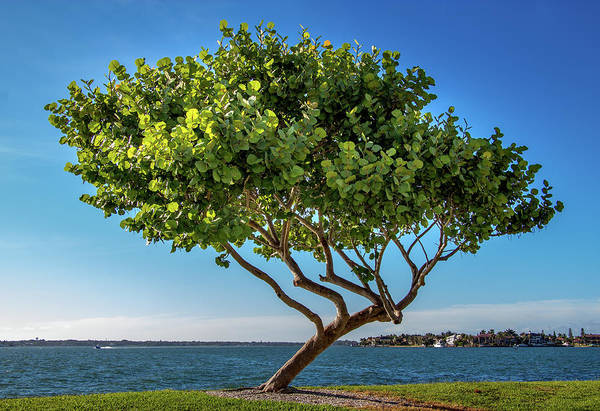 Photograph - Tree On The Bay by Richard Goldman