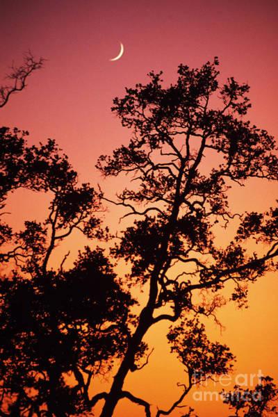 Ohia Photograph - Tree Silhouette by Allan Seiden - Printscapes