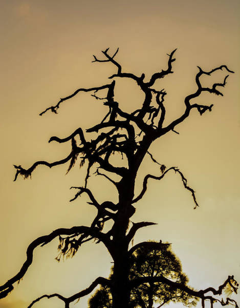 Photograph - Tree Silhouette by Robert Mitchell