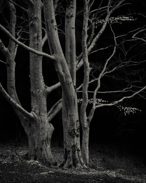 Wall Art - Photograph - Beech Tree by Dave Bowman