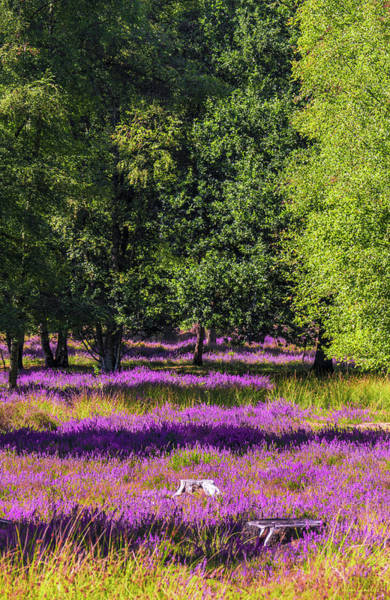 Wall Art - Photograph - Tree Stumps In Common Heather Field by Wim Lanclus