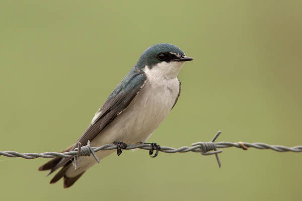 Photograph - Tree Swallow by Aivar Mikko
