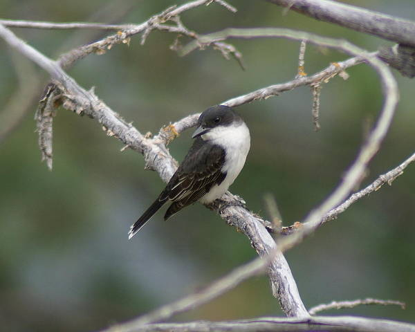 Photograph - Tree Swallow by Ben Upham III
