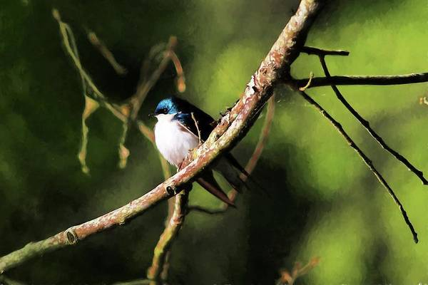 Photograph - Tree Swallow Painting by Carol Montoya
