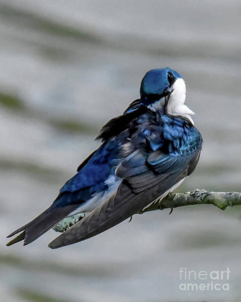 Photograph - Tree Swallow Preening by Cynthia Staley