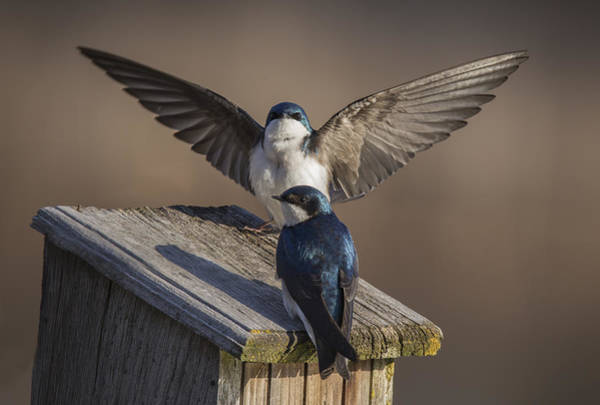 Swallow Photograph - Tree Swallows  by Mircea Costina Photography