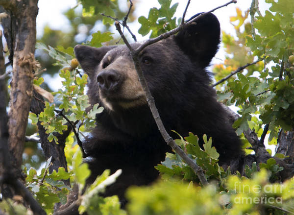 Bruin Photograph - Tree-top Bruin by Mike Dawson