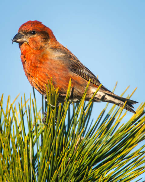 Crossbill Photograph - Tree Top by John Crookes