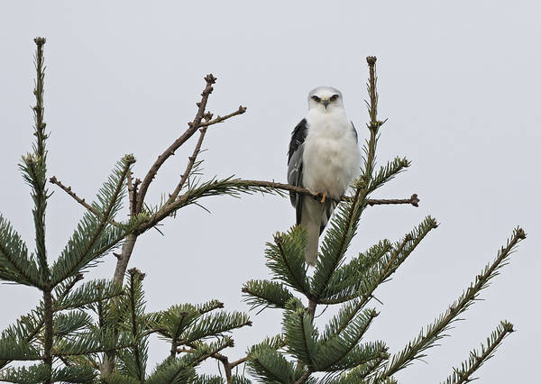 White-tailed Kite Photograph - Tree Topper by Loree Johnson