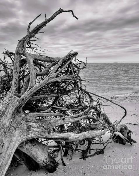 Photograph - Tree Trunk And Sky, Sanibel Island, Florida  -80040-bw by John Bald