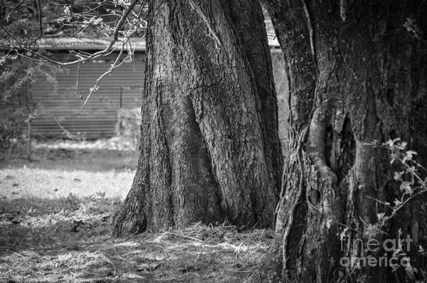 Photograph - Tree Trunks by Cheryl McClure