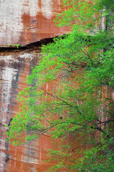 Northern Arizona Wall Art - Photograph - Tree With Red Canyon Wall by Joseph Smith