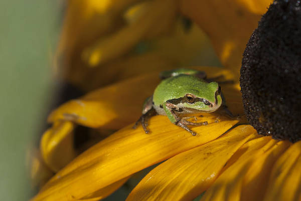 Photograph - Treefrog On Flower by Robert Potts