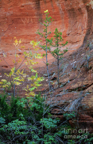 Photograph - Trees And Red Rock Wall by Richard Smith