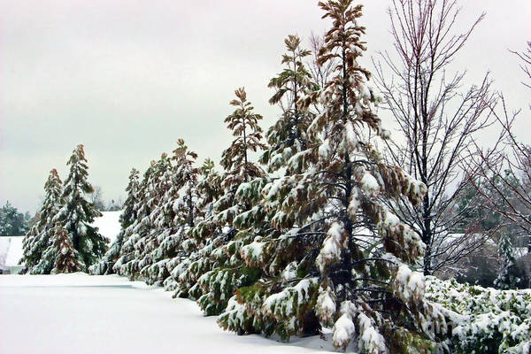 Photograph - Trees Covered In Snow by Roberta Byram