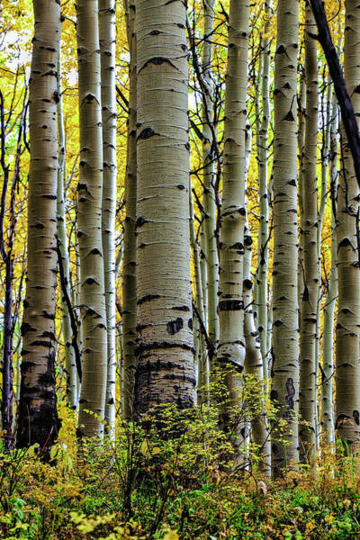 Grand Mesa National Forest Photograph - Trees For The Forest by Jennifer Grover