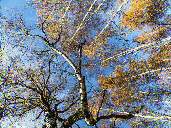 Photograph - Trees Grow To The Sky by Odon Czintos