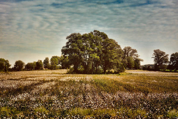 Photograph - Trees In The Cotton Field by Jai Johnson