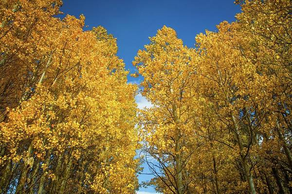 Photograph - Trees Of Gold by Lynn Bauer