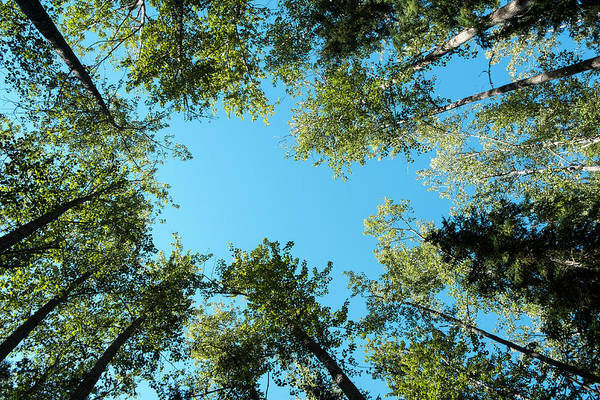 Photograph - Trees Toward Heaven by Mary Lee Dereske