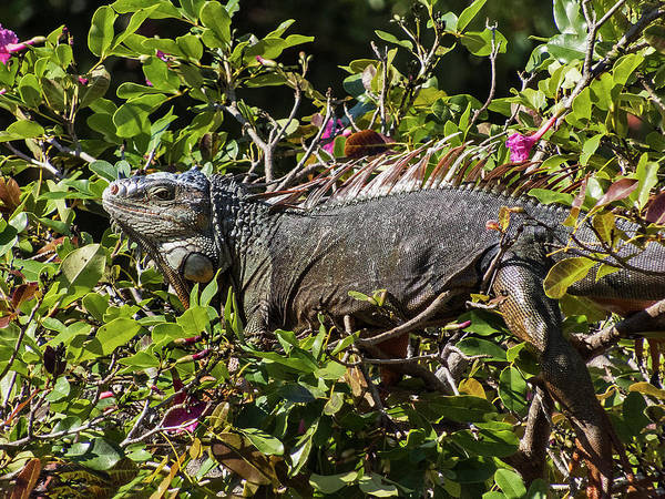 Photograph - Treetop Iguana by Bob Slitzan