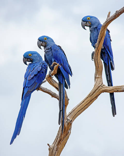 Hyacinth Macaw Photograph - Tres Amigos  by Tony Beck