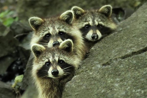 Raccoon Photograph - Tres Banditos by Mircea Costina Photography