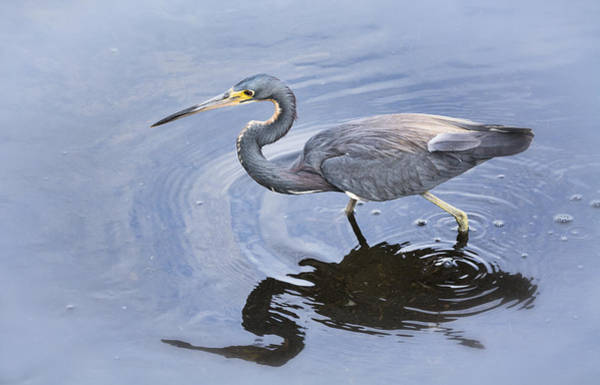 Little Blue Heron Photograph - Tri-colored Heron Fishing  by Saija  Lehtonen