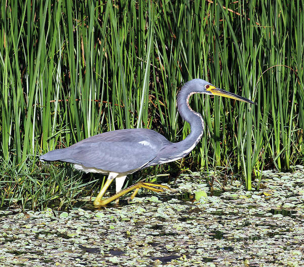 Photograph - Tri-colored Heron In Canal by Jennifer Robin