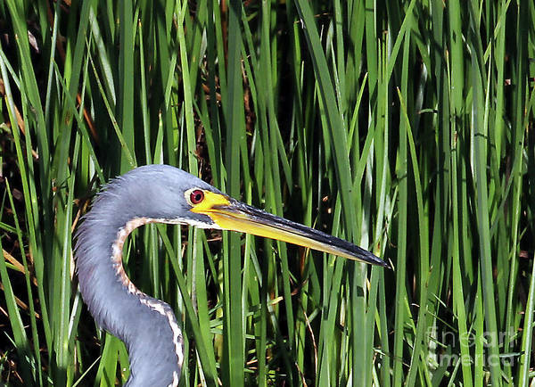 Photograph - Tri-colored Heron In Reeds by Jennifer Robin