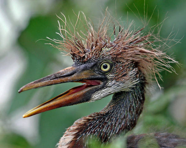 Photograph - Tri-colored Heron Nestling by Larry Linton