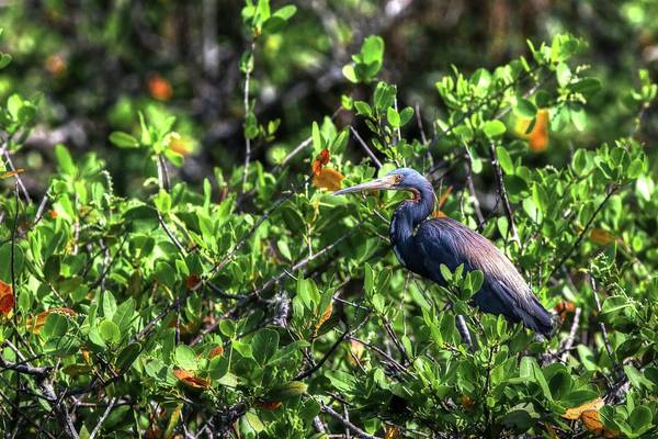 Photograph - Tricolor Heron Among The Mangrove by Carol Montoya