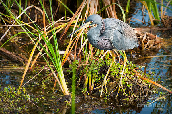 Photograph - Tricolor Heron On The Prowl by Photos By Cassandra