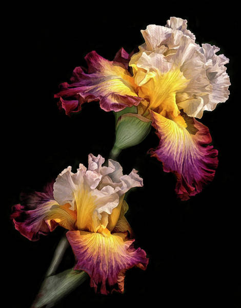 Wall Art - Photograph - Tricolor Iris Pair by Dave Mills