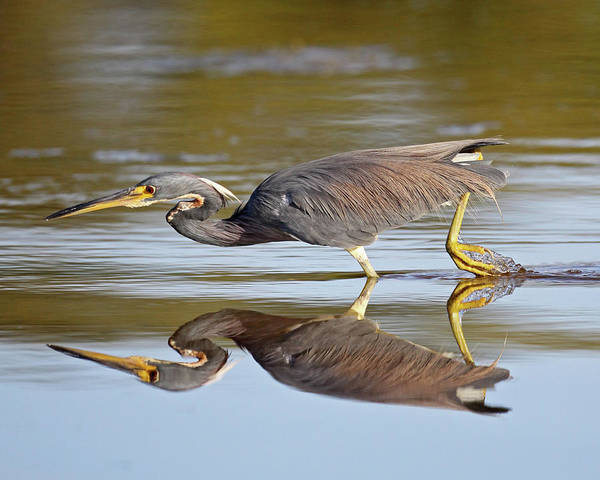 Photograph - Tricolored Heron by Brian Magnier
