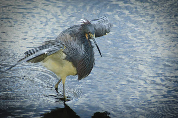 Photograph - Tricolored Heron by Carolyn Marshall