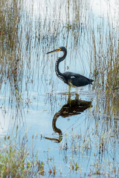 Photograph - Tricolored Heron by Kay Brewer