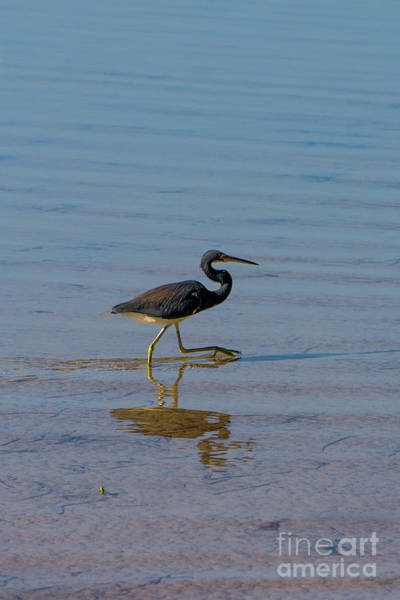 Photograph - Tricolored Heron Taking A Stroll by Vincent Billotto