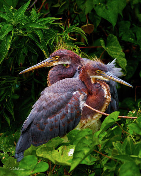 Photograph - Tricolored Siblings by Christopher Holmes